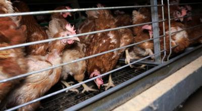 Décembre 2017. L214 rend publiques les images d'un élevage industriel de 140 000 poules en batterie produisant des œufs pour des produits transformés. - Crédit : L214