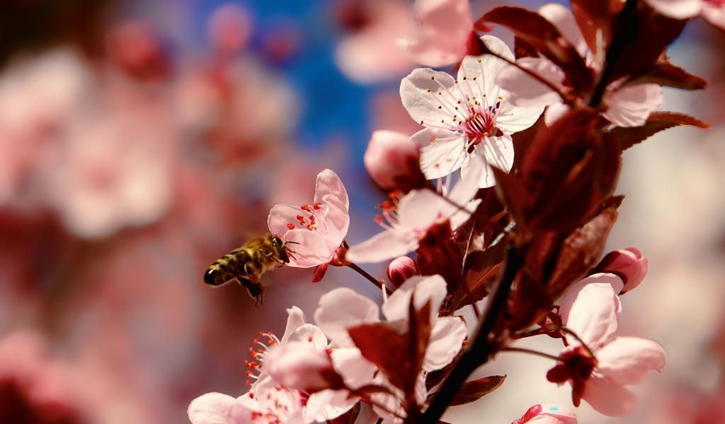 Les apiculteurs ont besoin des agriculteurs pour faire butiner leurs abeilles. Et les agriculteurs ont besoin des abeilles pour polliniser leurs plantes. Ici, une abeille butinant une fleur de cerisier. © Pixabay