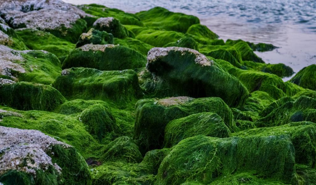 crédit pixabay - algues vertes