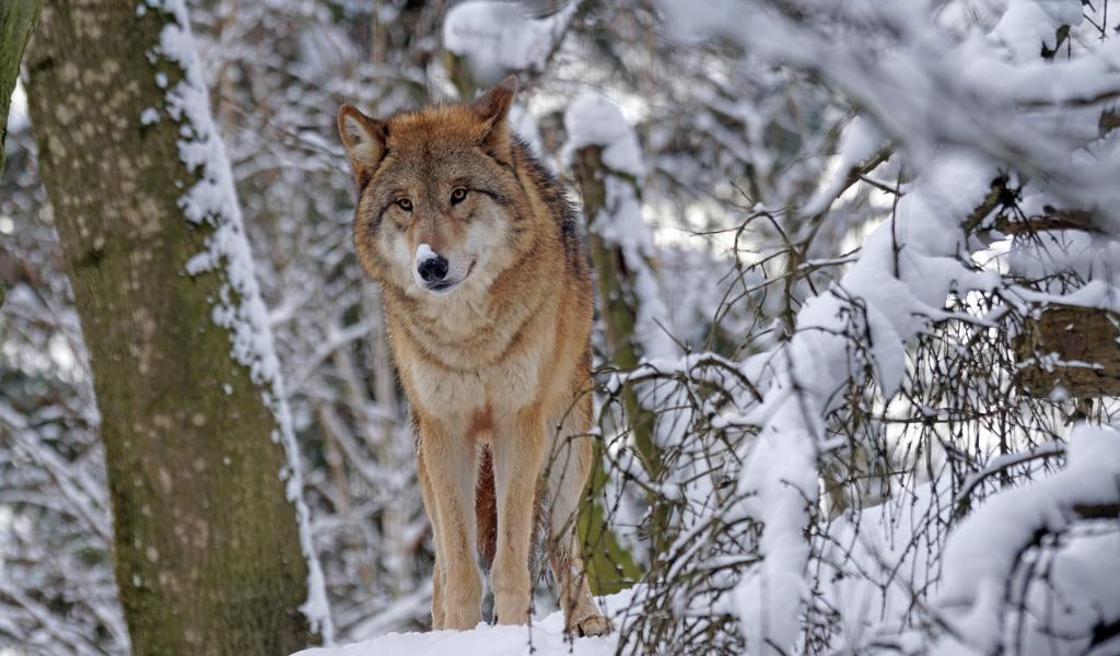 Un arrêté du 16 juin rend possible l'abattage de deux loups supplémentaires.
