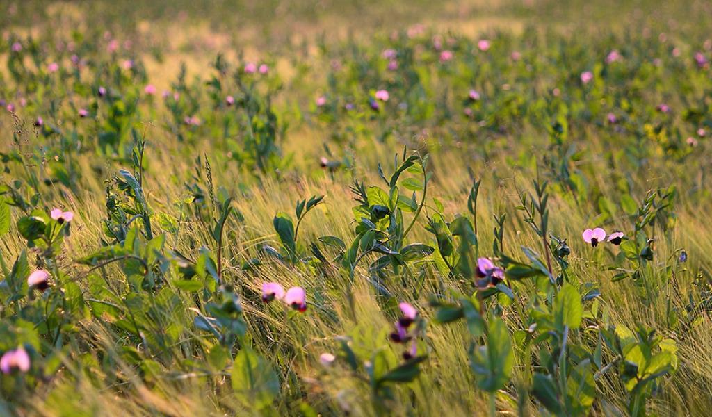 Cultiver plusieurs espèces sur une même parcelle, au même moment, permet d'augmenter les rendements et de stabiliser l'exploitation. Une piste pour répondre à la demande croissante en bio. (crédits : © Marie-Christine LHOPITAL, INRA)